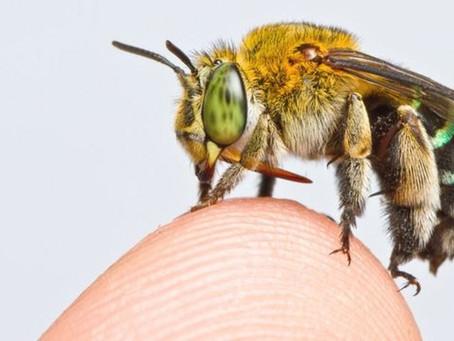 As revelações do primeiro mapa global de abelhas (e por que é tão importante)