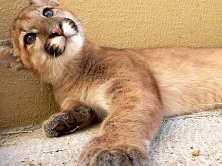 Votação aberta! Escolha o nome do filhote de onça-parda do zoológico de Curitiba