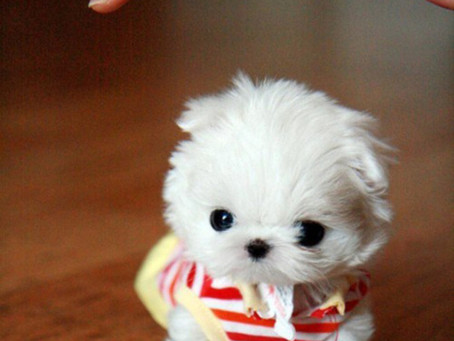 Filhotinhos de cachorro tão fofos, que parecem de mentira.