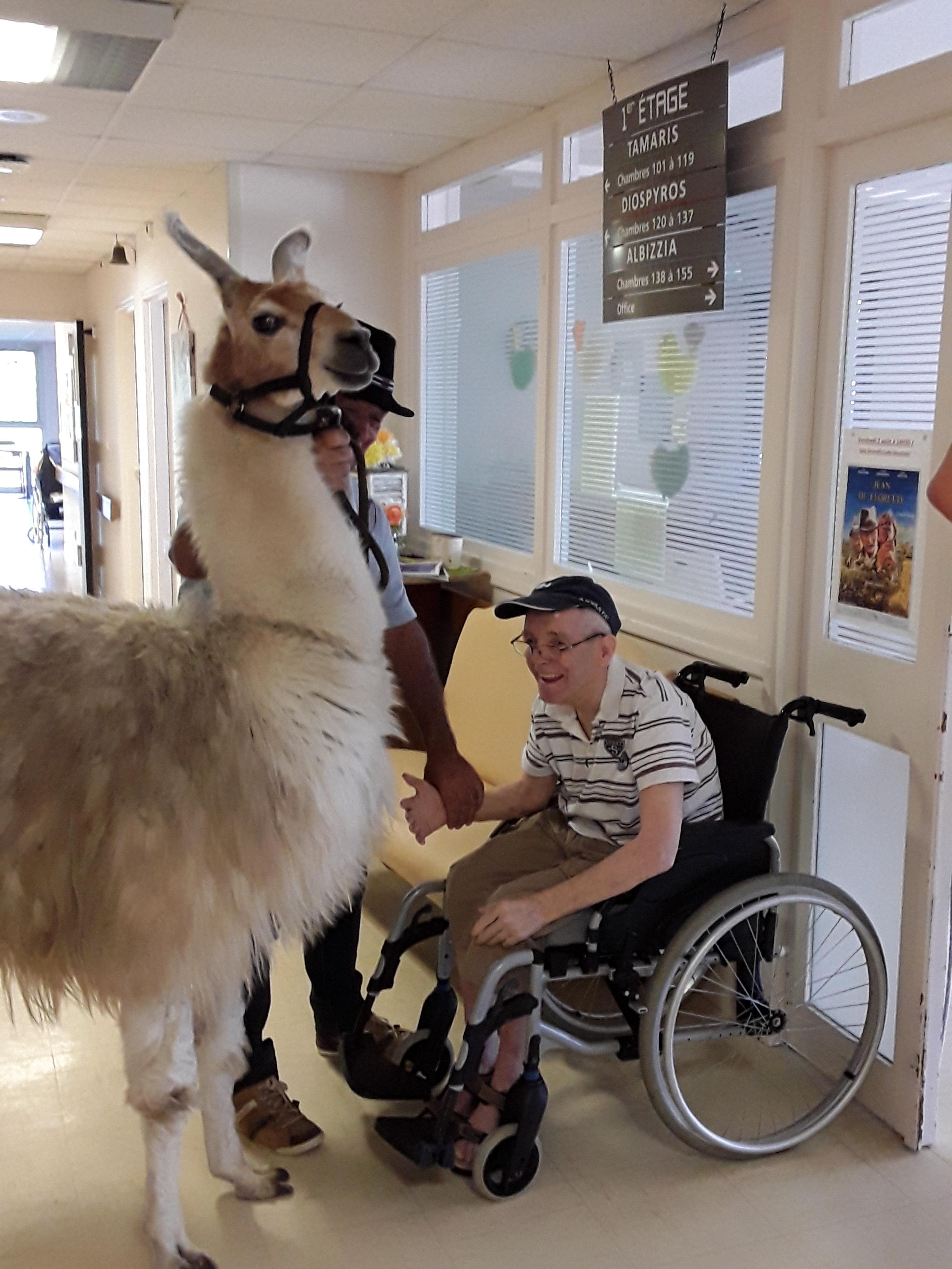 Un lama à la rencontre des résidents