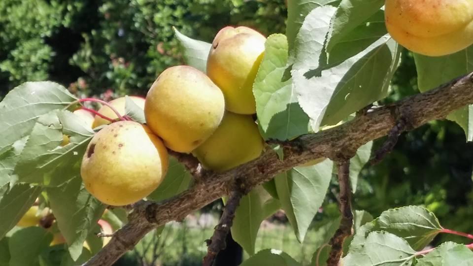 Frutti antichi...