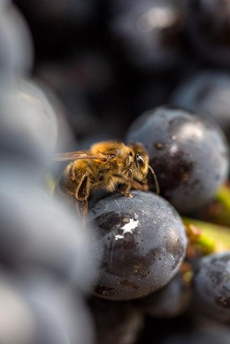 photographie vigne champagne abeille