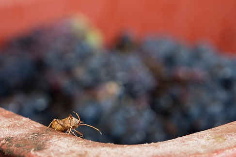 photographie vigne champagne insecte