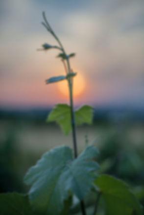 Photographie vigne
