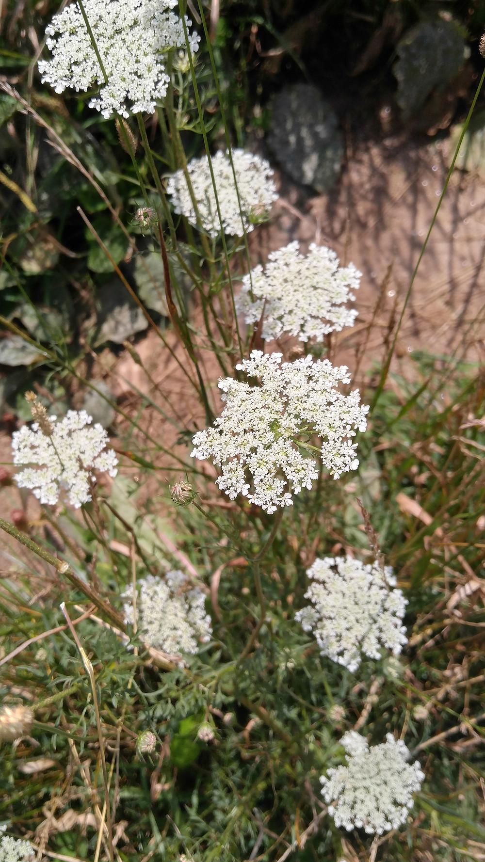 Wild Queen Ann's Lace, WNC Wildflowers, wild foraged