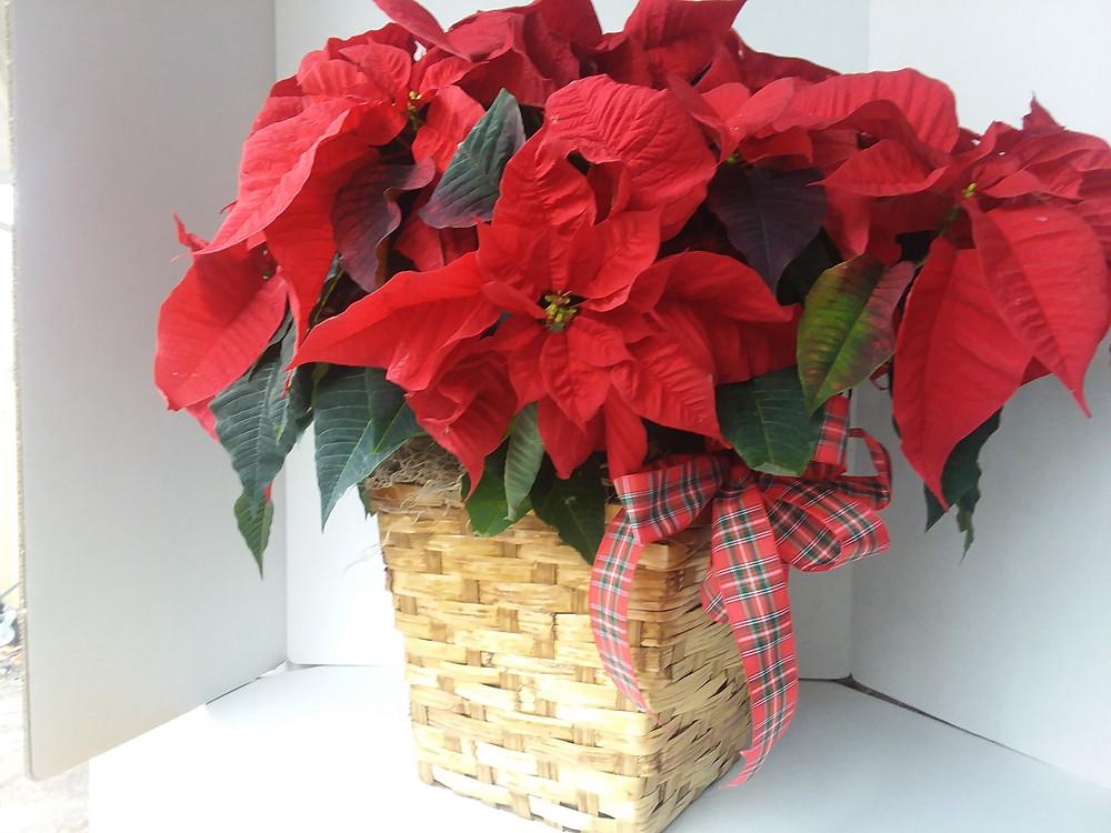 Large Red Poinsettia, Poinsettia Plant, Poinsettia Gift