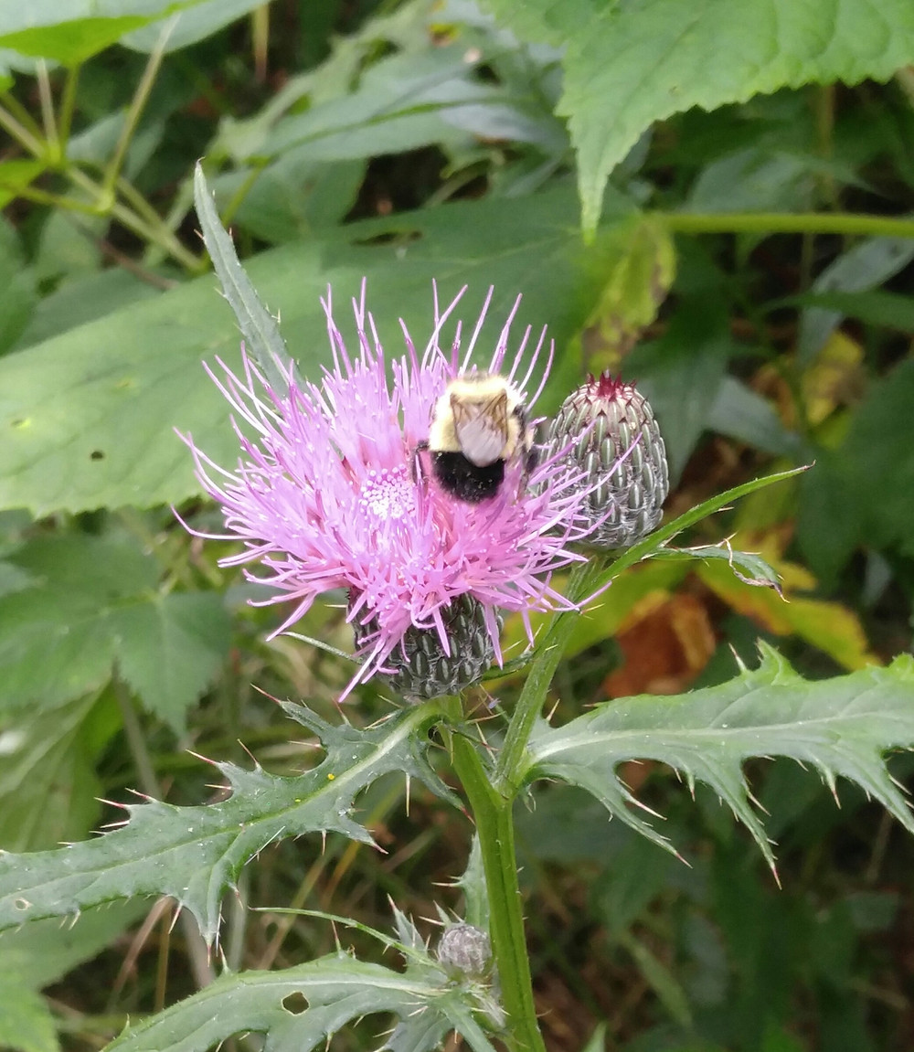 Thistle, wild flowers, WNC Flowers