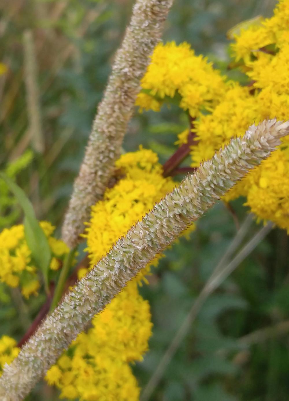 wild Solidego, local native mini catkins, wnc wildflowers
