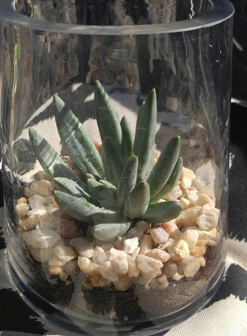 McKenzie Botanicals Succulent Special #2