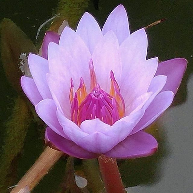 Lotus flower taken by McKenzie Botanicals