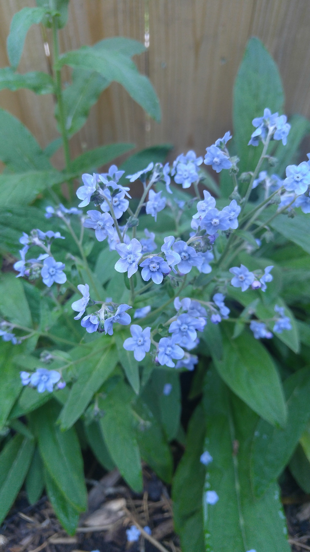 Forget-me nots, locally sourced flowers, eco-friendly flowers, McKenzie Botanicals