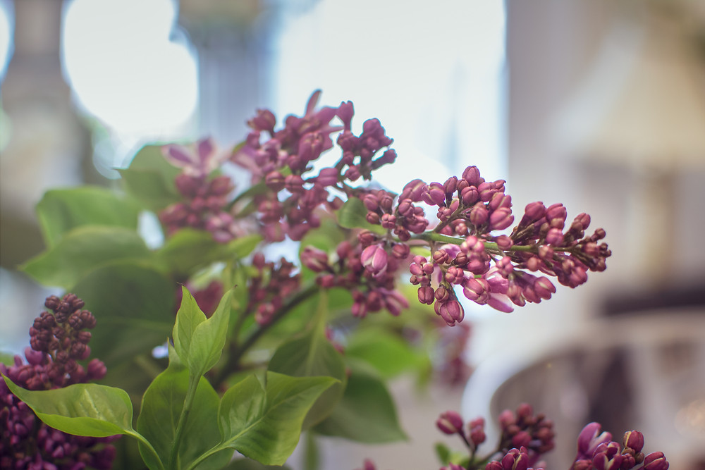 Organic Lilac, Locally Produced flowers, McKenzie Botanicals