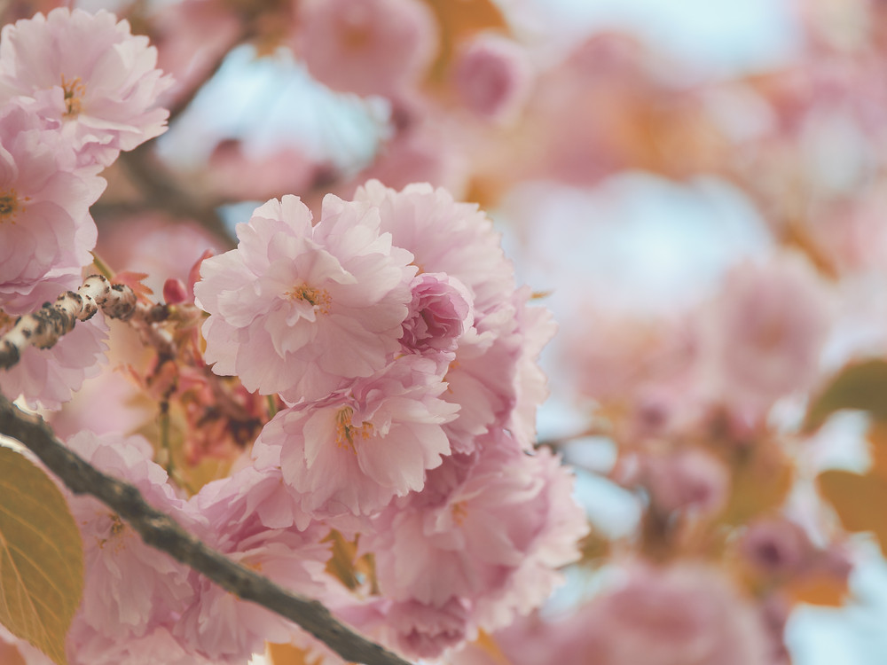 Pink flower blossoms on a tree branch