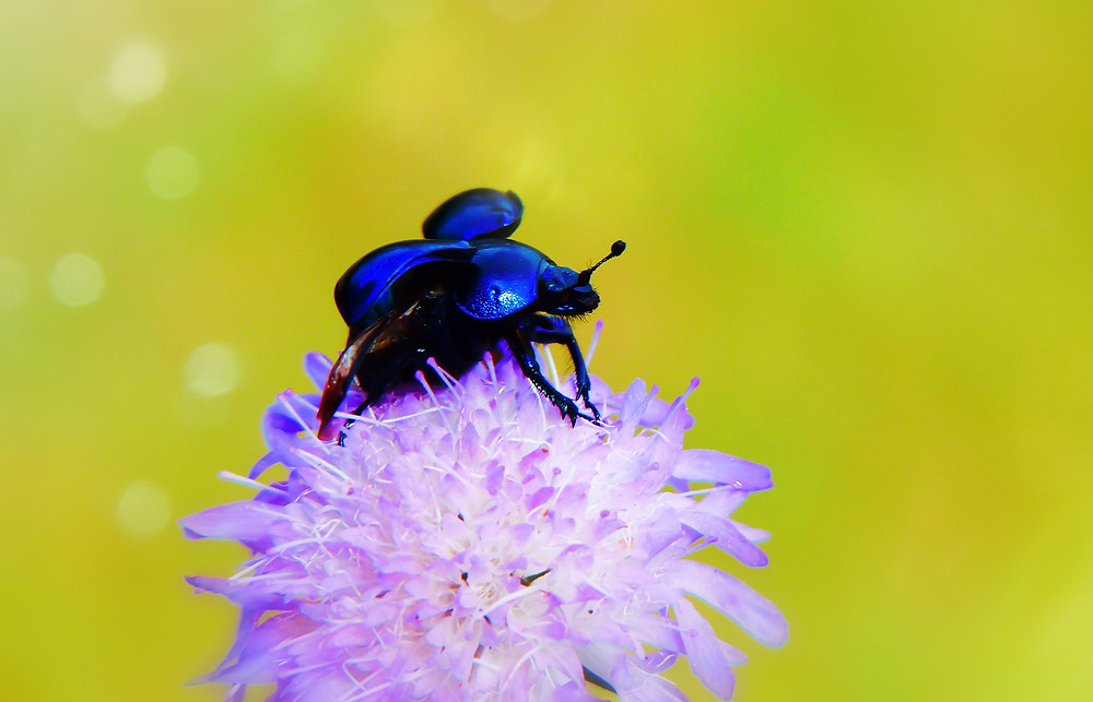 Scarab beetle on top of a flower getting ready to fly away.