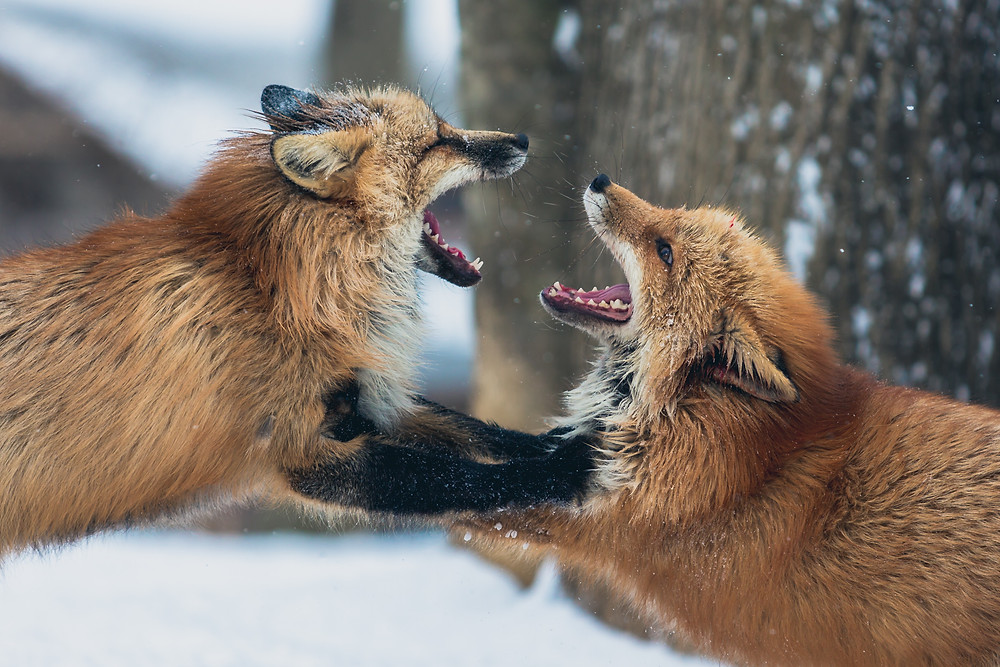 Two foxes that look like they are arguing with each other loudly