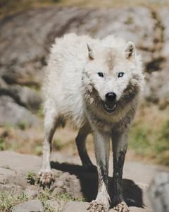 Le loup artique.jpg