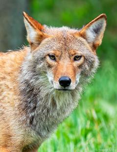 Le Coyote-1.jpg