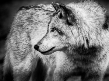 Loup-.jpg