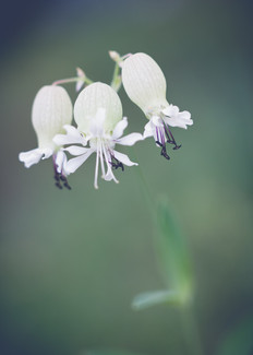 Fleur-Sauvage-1.jpg