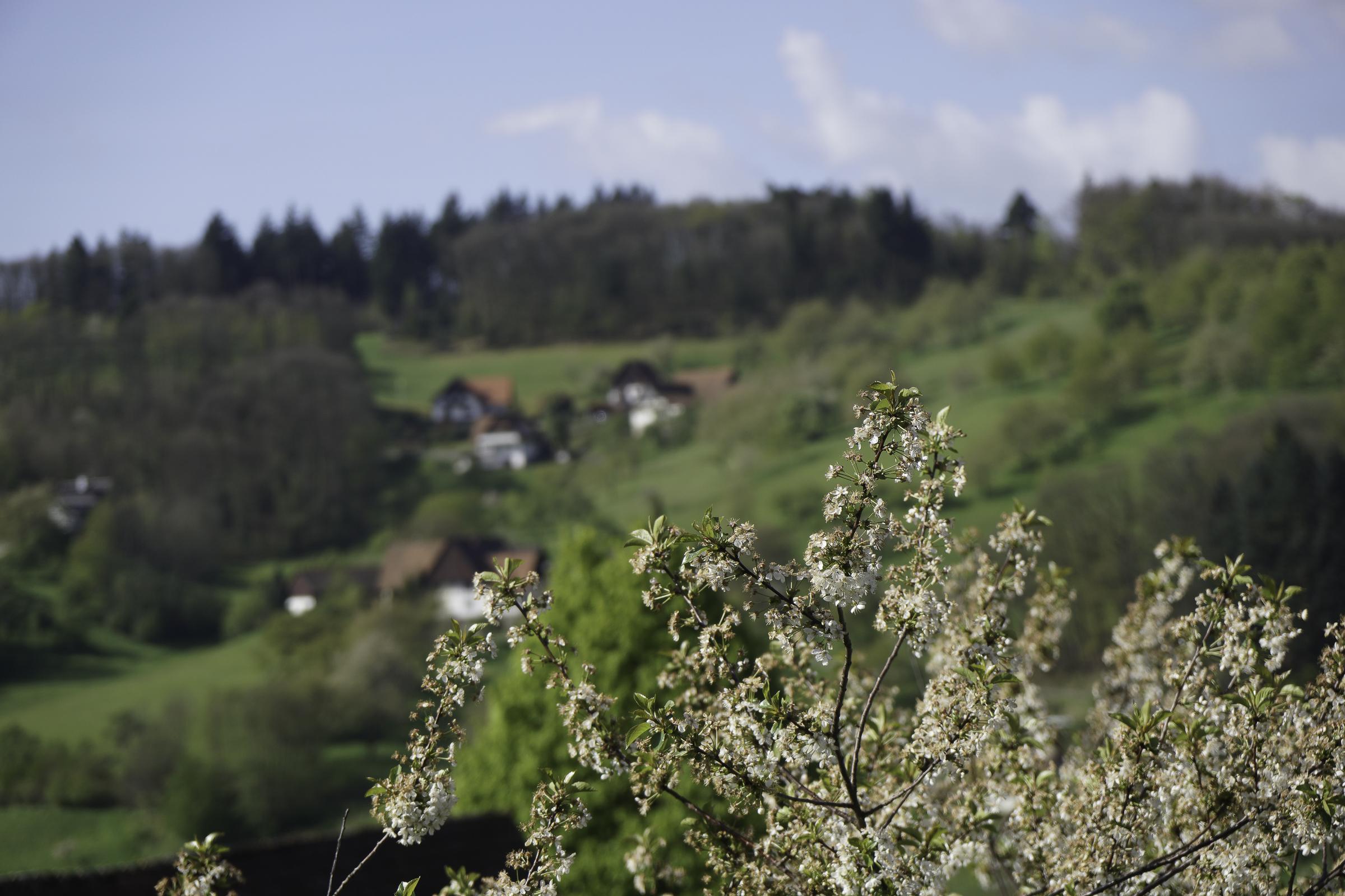 Apfelblüte in Sasbachwalden