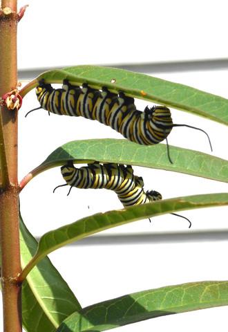 caterpillars2.jpg