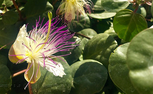 Santorini Flower