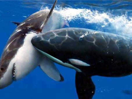 Luchas entre tiburones, cocodrilos y orcas
