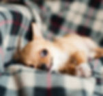 chihuahua-820085_1920.jpg