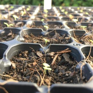 Digitalis seedlings