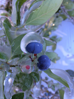 Frost protection on blueberries