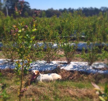 50 acres of blueberries!