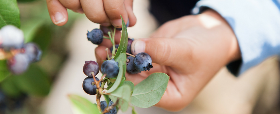 blueberry u-pick