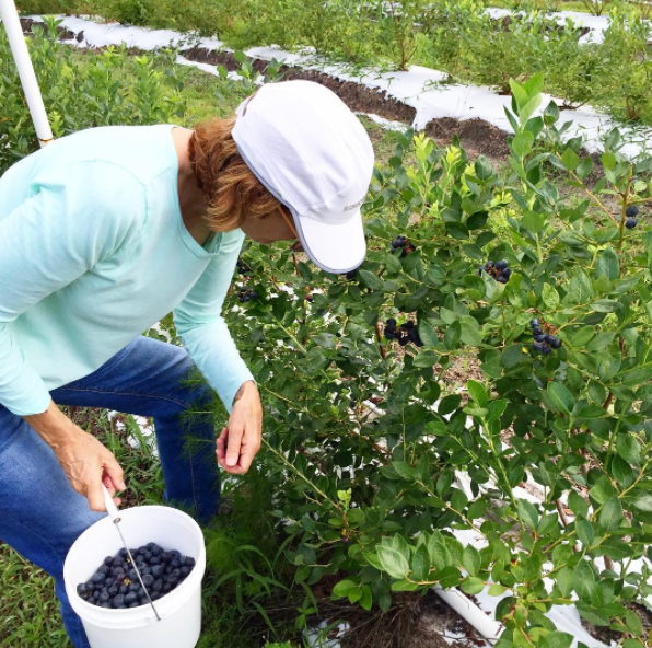 Pickin' blueberries!