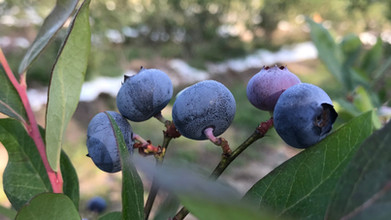 Weekday Blueberry U-Picks!