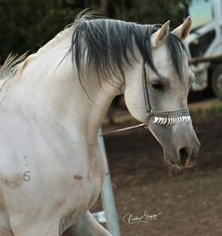 Mustang's Mayal