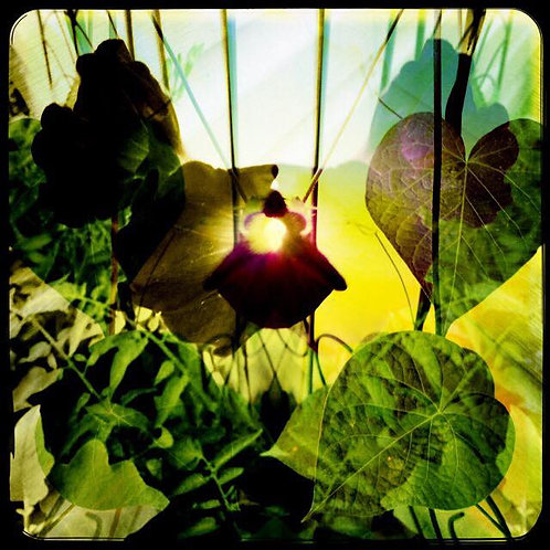 20x20 Keeper of the Morning Glories: Stretched Canvas Layered Print