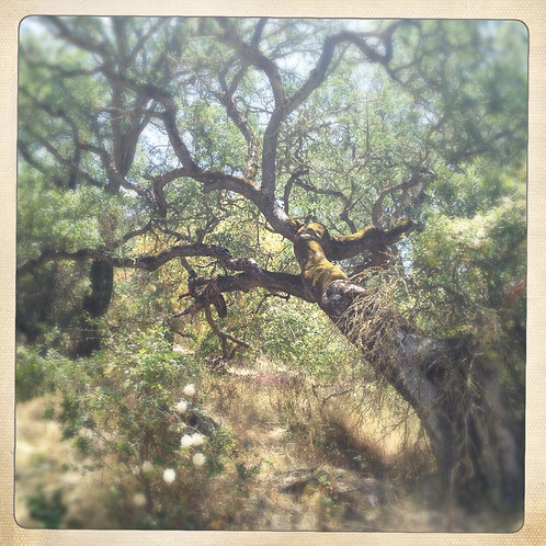 38. 12x12: Sleeping Oak: Pinnacles, CA