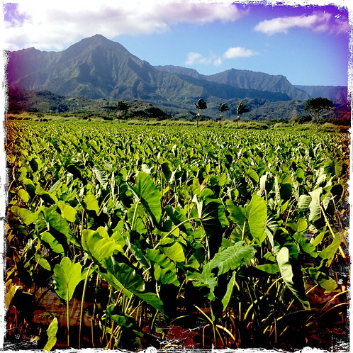 40. 38x38: Fields of Taro: Kauai, HI