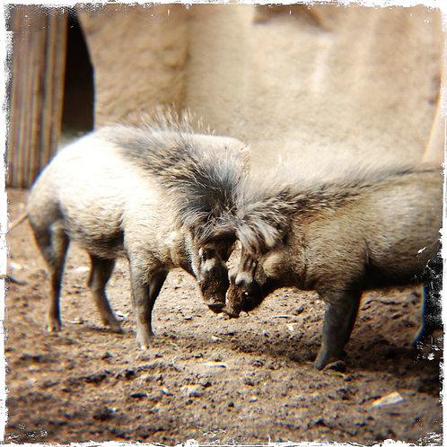 43. 38x38: Warthog Kisses: San Diego, CA