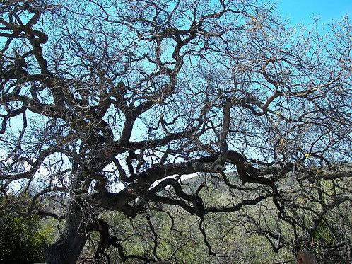 16. 8x8: Gnarly Oaks: Lost Hills, CA