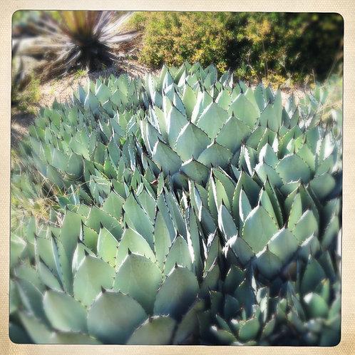 6. 12x12: Artichoke Cacti: Santa Cruz, CA