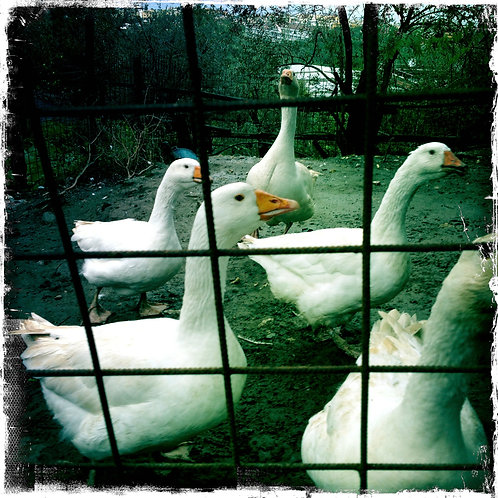 35. 38x38: Farm Geese: Sorrento, Italy