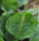 Broadleaf Plantain2.png