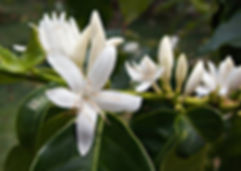hawaii-kona-coffee-blossom.jpg