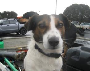Restrain dogs in cars