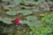 Water Lily_ACR1.jpg