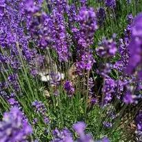 cat in lavender growing in front garden.
