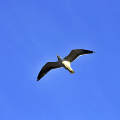 Seagull spreads wings while flying in de