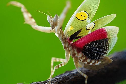 Creobroter gemmatus (x3 pack)