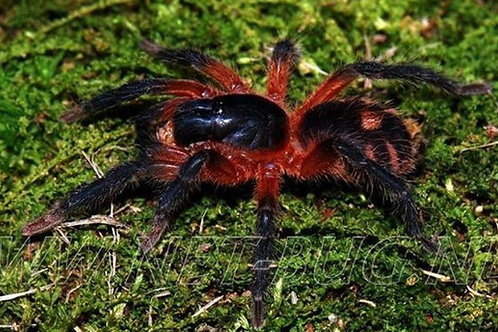 Theraphosinae sp panama